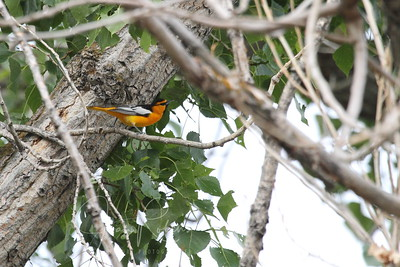 Bullock's Oriole flitted by.