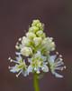 Death camas (Toxicoscordion venenosum). Taken in the Lolo National Forest, Montana, USA.