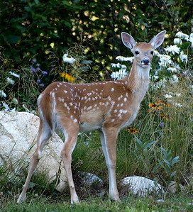 Rock Creek whitetail fawn.