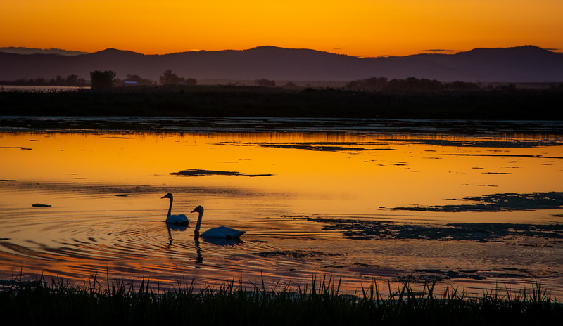 Wild Swans Sunset