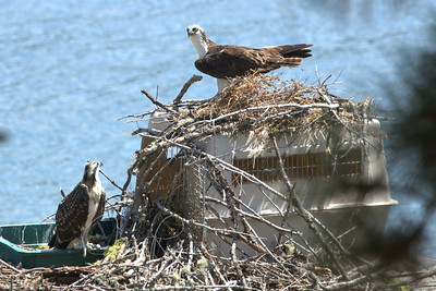 Mom and dad visiting for a while. Mom sometimes does a bit of housekeeping on the nest.