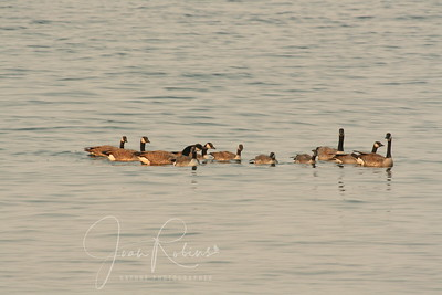 Geese! Trying to land near their precious baby.