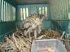 July 17, 2007<br /> <br /> This is a baby Osprey after a wild hail storm in Montana. My neighbors, Judy and Jordan, ran out of their house on Flathead Lake and found that the Osprey nest  had been blown to the ground from its high perch in an old tree next to the house. They found this baby on the ground, wrapped it in a towel, and Jordan held it until it calmed down. Then they put it in this dog kennel and tried to figure out what to do.   <br /> <br /> Jordan took this photo the next day and sent it to me in CA.<br /> <br /> NOTE: you can click on any picture to enlarge it. Then use the Back button on the browser to return here.