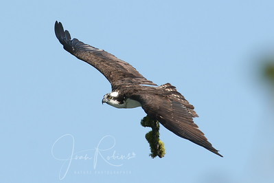 She brings more (and heavy!) nest material.