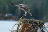 Rescued Osprey chick practicing, Flathead Lake, Montana, 2007