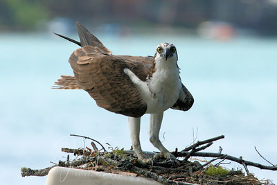 Dad lands with a tiny fish in his talons and looks at me warily. I leave so that he can do his job.