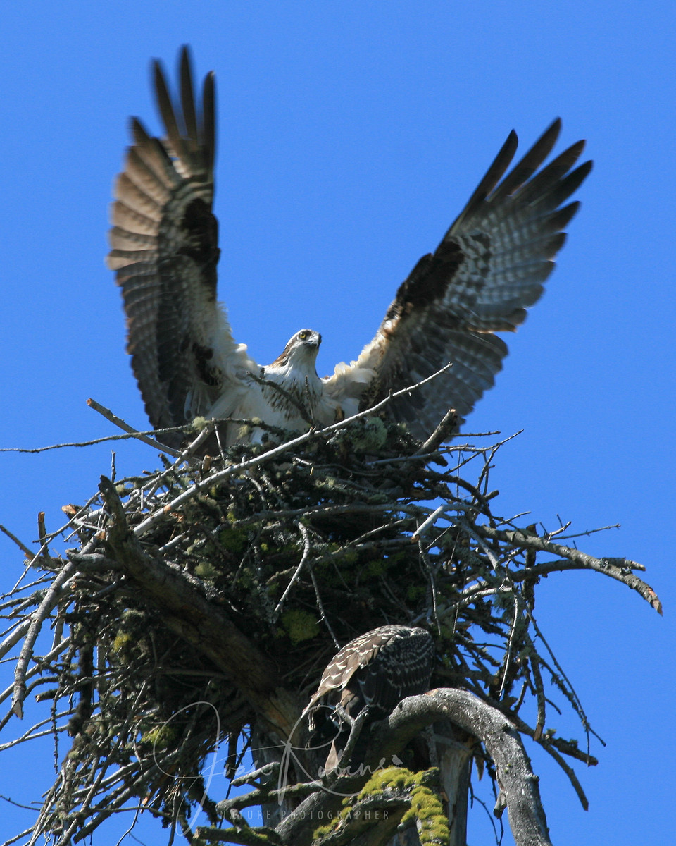 Rescued Osprey fledgling (bottom) encouraged to reach the nest on her first day of flight. Flathead Lake, Montana