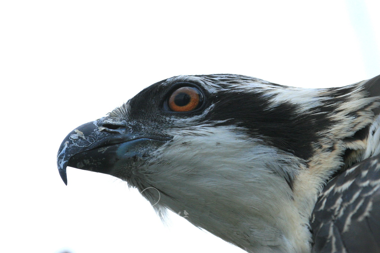 August 18, 2007, close-up of rescued Osprey chick. Flathead Lake, Montana