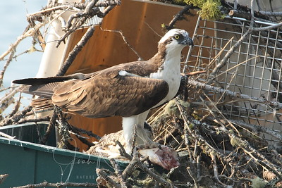 He's brought it to the messy nest, and he is still feeding her mouthful-by-mouthful, even thought she seems quite capable of self-feeding.