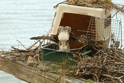 The young automatically know not to foul the nest. A head-stand maneuver and the deposit is made well out of the way.