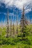 Ghost trees, evidence of past forest fire damage in the hills east of Glacier National Park, Montana, USA.