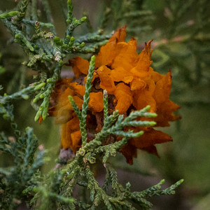 Orange Fungi on Conifer in Montana