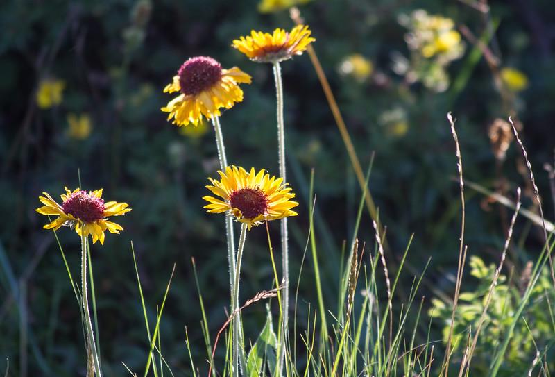 Brown Eyed Susans, Glacer National Park