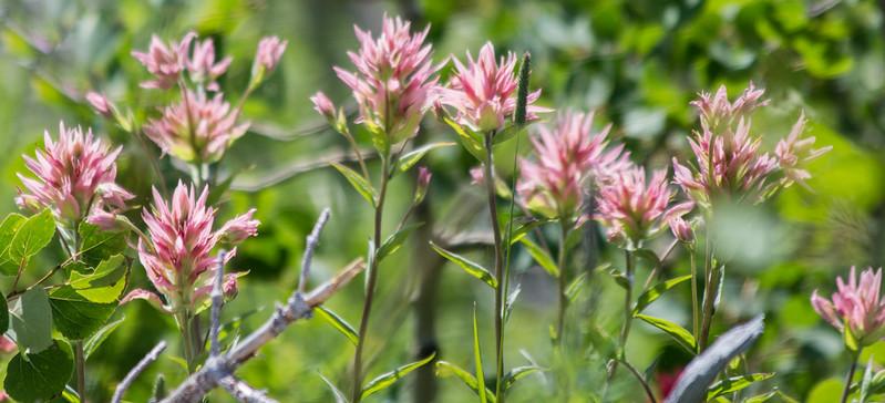Pink Indian Paintbrush, Glacier National Park