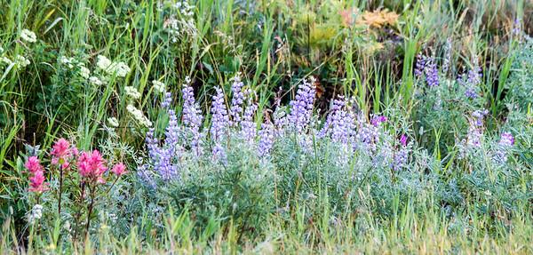 Wildflowers, Glacier National Park