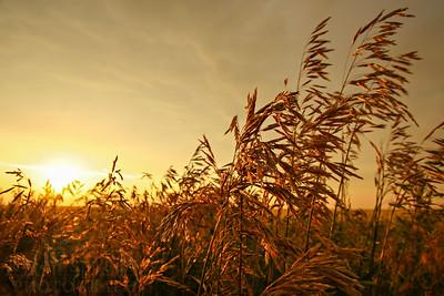 A wheat field in the evening sun in eastern Montana.  Photo by Kyle Spradley | www.kspradleyphoto.com