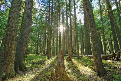 Cedar trees in Glacier National Park