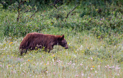 Young Black Bear in Glacier National Park