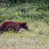 Young Black Bear in Glacier National Park