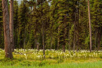 Beargrass on the Lolo National Forest