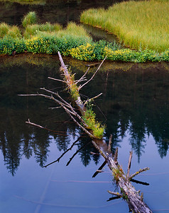 Middle Fork Jocko River beaver ponds with felled tree supporting islands of water-hemlock, cicuta douglasii,and yellow monkey-flowers, Mimulus guttatus.  Border area between Mission Mountain Wilderness and the Tribal Primitive Area. Confderated Salish Kootenai, Montana.