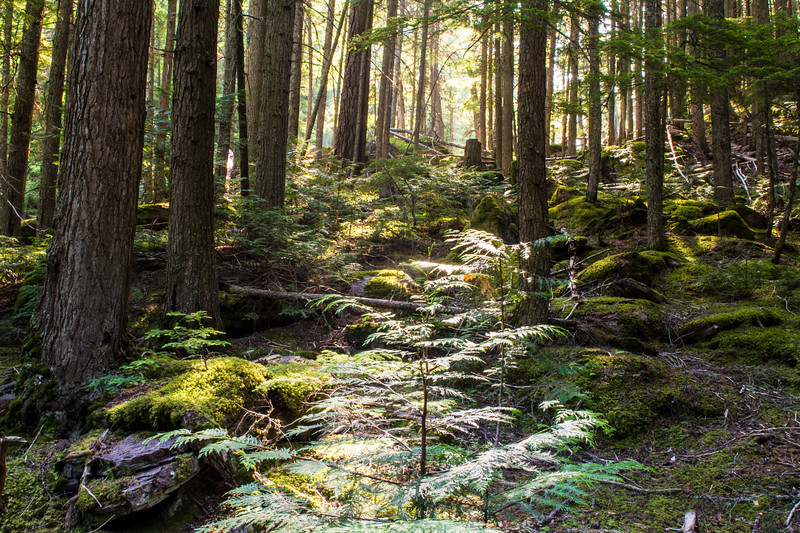 Forest Floor, Glacier Natioinal Park