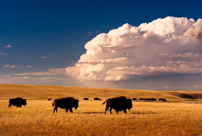 Fort Peck Assiniboine & Sioux Reservation, in Northeastern Montana.  Tribal buffalo heard in part of the tribe's 9000 acre buffalo preserve that has been increased in size from an original 4000 acres.  They also will expand to an additional 5000 acres so as to have two herds: one for commercial use and one for tribal traditional use.  Afternoon thunderstorms assemble over short-grass prairie.