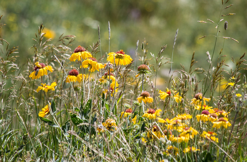 Brown Eyed Susans, Glacier National Park