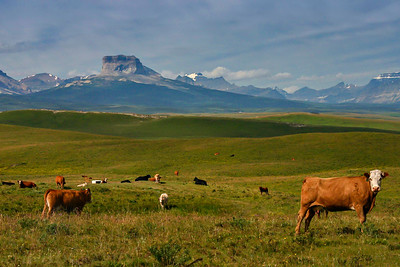 Cattle graze land in the Blackfeet territory outside of Glacier National Park, near the U.S.-Canada Border. Cheif Mountain anchors the range in the background.  Photo by Kyle Spradley | www.kspradleyphoto.com