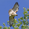 Hawk, Red Tail