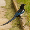 Black Billed Magpie in Red Lodge