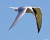 _MG_6168 flying Tern