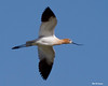 _MG_6164 flying Avocet