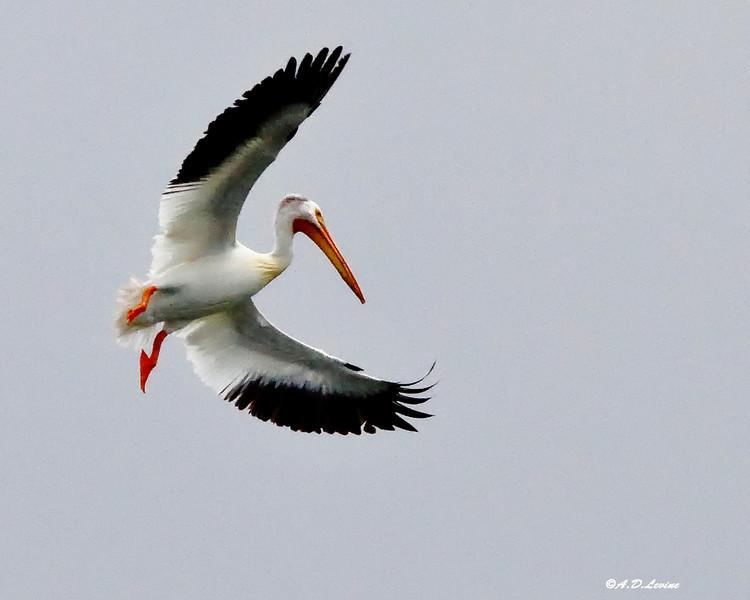 _MG_6003 pelican