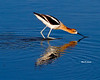 _MG_6093 Avocet
