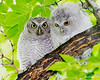 _MG_5799 screech owls