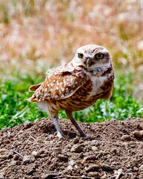 _MG_6196 burrowing owl