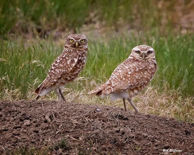 _MG_6234 burrowing owls