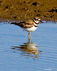 _MG_6114 Killdeer