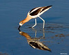 _MG_6090 avocet