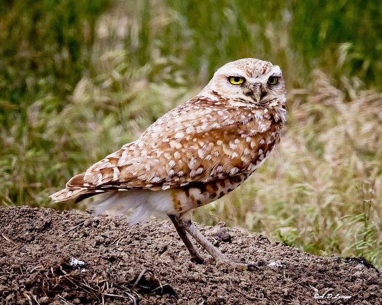 _MG_6236 burrowing owl