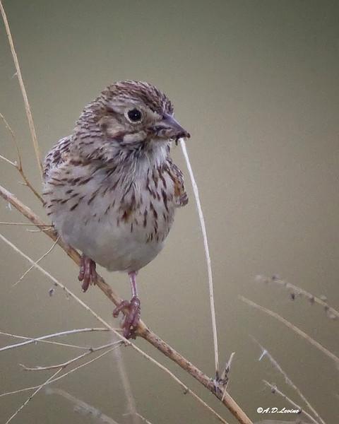 _MG_5985 vesper sparrow
