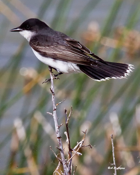 _MG_6019 eastern kingbird