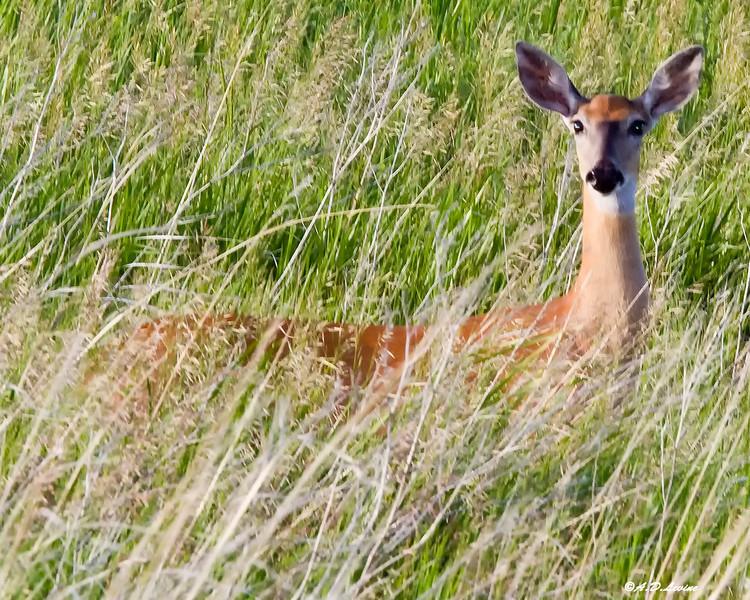 _MG_6111 mule ear deer fawn