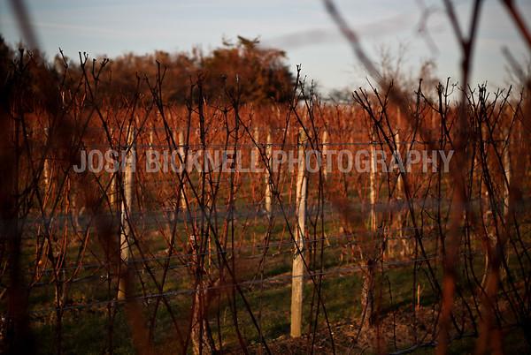Wine Vines at Sunset