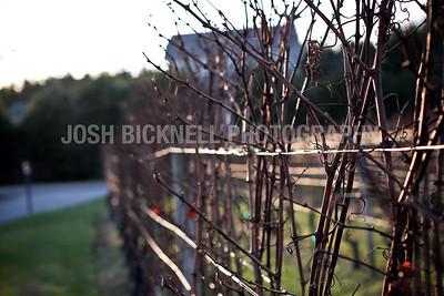 Wine Vines