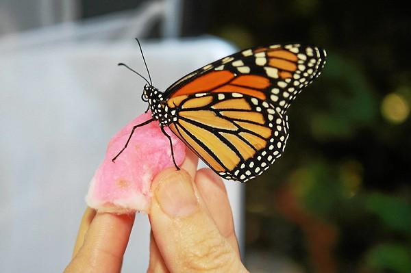 9/24/2015-Monarch Butterflies