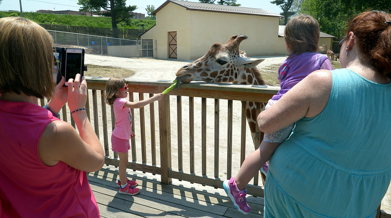 Ryann Giamento feeds a piece of lettuce to Dhoruba at the Giraffe Welcome Home Party at the Elmwood Zoo, May 28, 2016.  / BOB RAINES--DIGITAL FIRST MEDIA