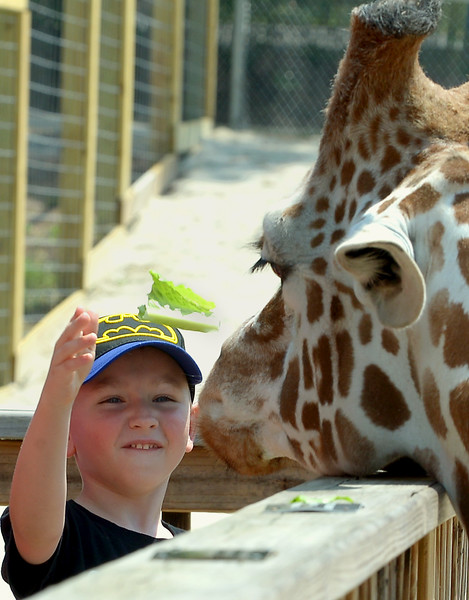 Owen Conley tosses some lettuce to Dhoruba the Giraffe May 28, 2016 at the Giraffe Welcome Home Party at the Elmwood Zoo, Norristown.   / BOB RAINES--DIGITAL FIRST MEDIA
