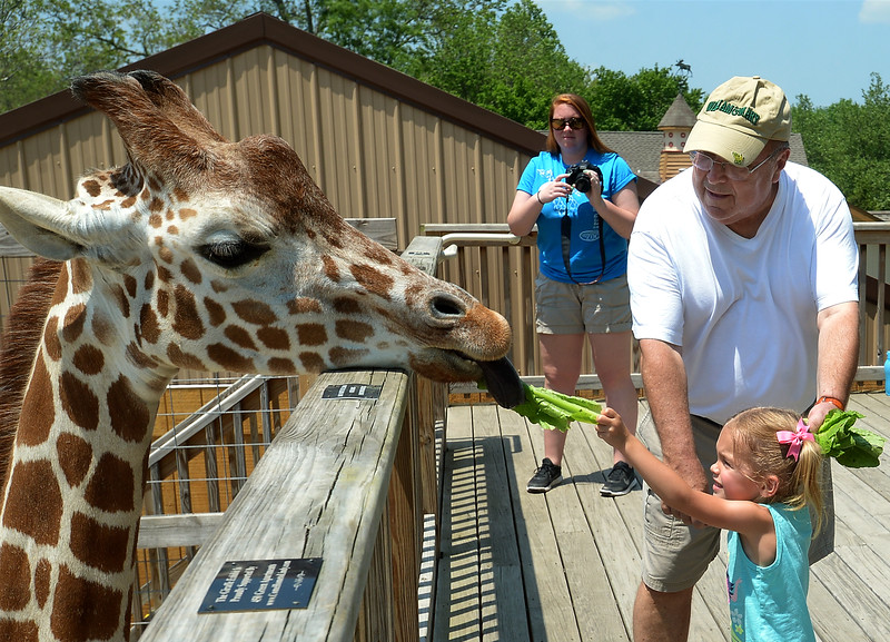 Paul Remzas helps his granddaughter, Haley Eichmann, feed lettuce to Dhoruba at the Giraffe Welcome Home Party at the Elmwood Zoo, May 28, 2016.  / BOB RAINES--DIGITAL FIRST MEDIA